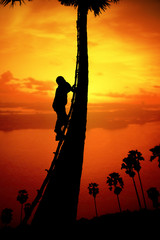 Man climbing a sugar palm tree to collect sap