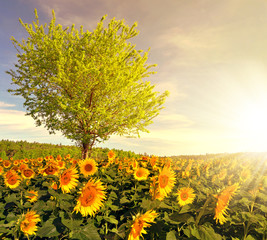 Sunflower field with tree in the sunset. Spring landscape.
