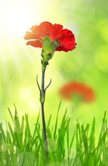 dewy red carnation in grass on green background