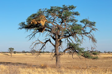 African Acacia tree with large sociable weaver nest