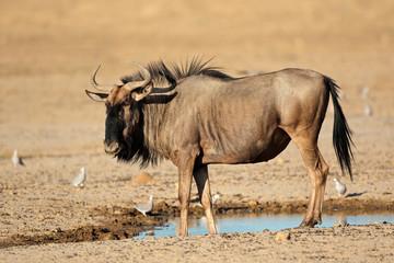 Blue wildebeest at waterhole, Kalahari desert