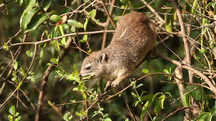 Yellow-spotted rock hyrax, Nairobi National Park