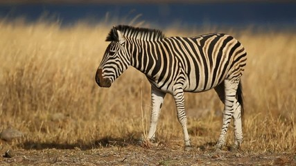Grazing plains zebra, Pilanesberg National Park