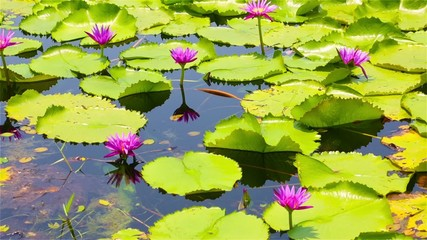 Pink lotuses on the lake