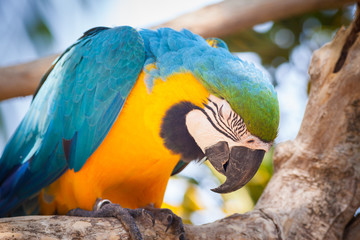 sleeping blue parrot