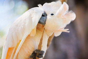 creamy-white cockatoo