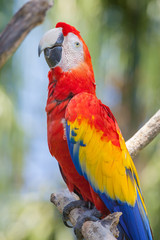 Old red parrot