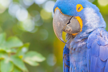 Blue parrot at background