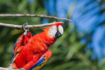 Red parrot itches branch