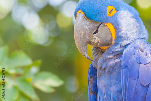 Keuken foto achterwand Indonesië Blue parrot at background
