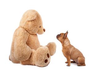 Bulldogge und Teddybär