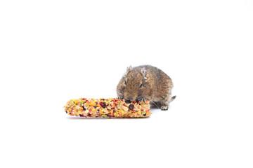 Chilean squirrel degu