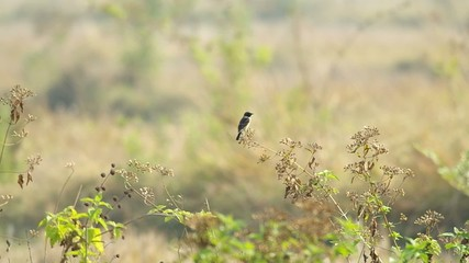 stonechat bird is staying on the top of the plant
