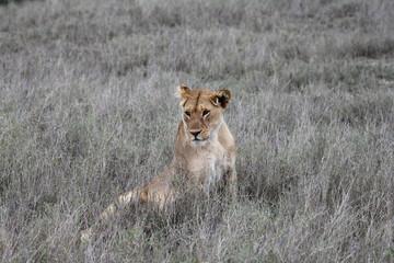 lion,tanzania