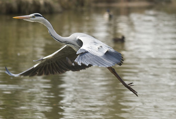 Grey Heron flying over the lake in the park