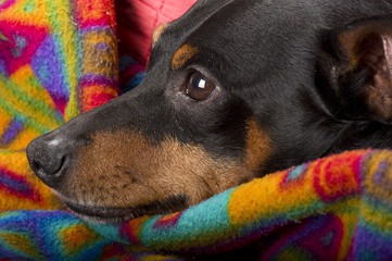 Portrait of a pinscher resting at home