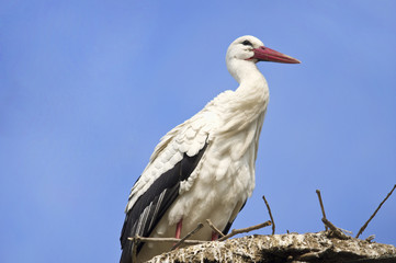 White storks on the nest in a sky background