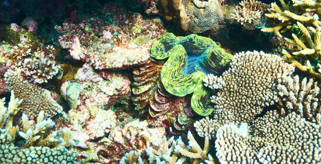 Giant clam at the tropical coral reef