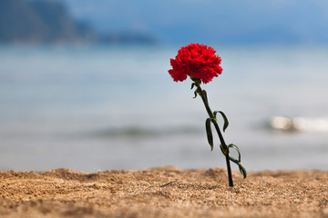Carnation on a beach