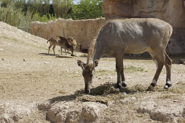 Muntjac ciervo comiendo