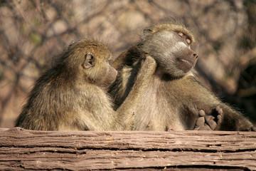 Baboon play