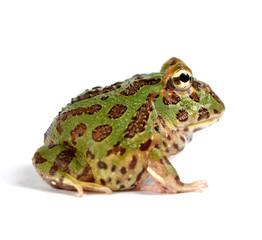 frog pacman(ceratophrys ornata)