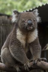 Koala - South Australia