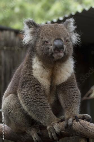 In de dag Koala Koala - South Australia