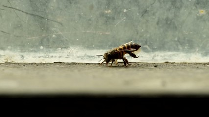 a bee use its hind legs rub the abdomen part