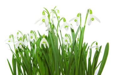 Snow bells isolated: