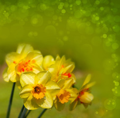 Yellow narcissus .