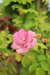 pink rose in a nature at the garden