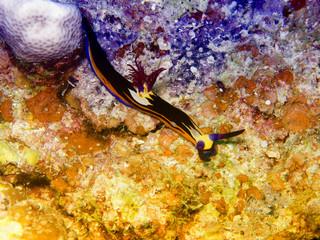 Nembrotha in Red Sea