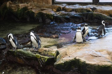 Penguins in their enclosure
