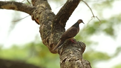 spotted dove is turn around and walk on the tree stem