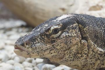 cabeza lagarto