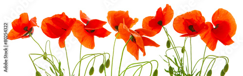 Keuken foto achterwand Poppy Red poppies isolated .