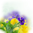 spring narcissus and iris