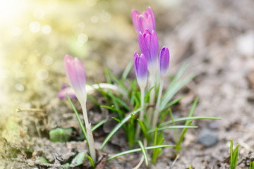 spring blooming crocus in the sun