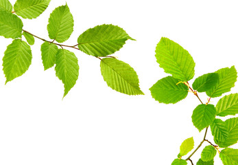 Green leaves isolated.