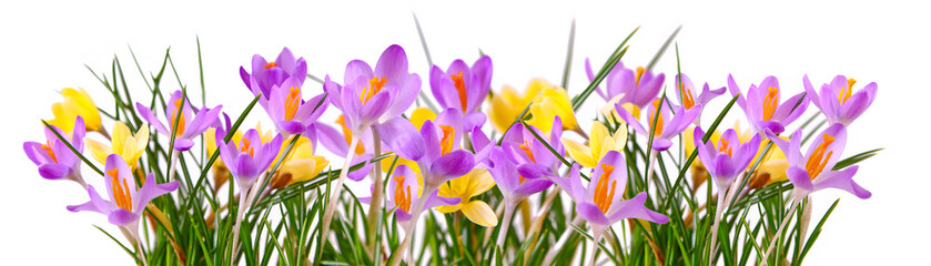 Colorful crocuses isolated .