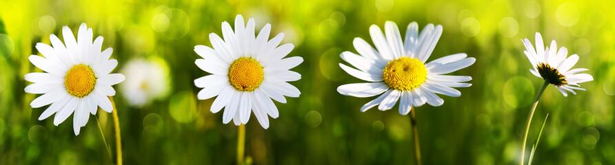 Białe kwiaty daisy.