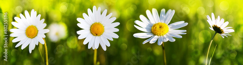 White daisy flowers . - 80255596