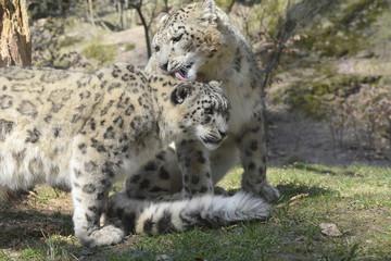 Schneeleopard Paar