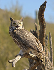 A Great Horned Owl on an Old Snag