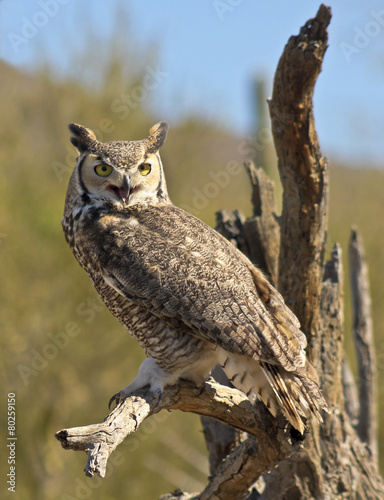 Foto op Plexiglas Uil A Great Horned Owl on an Old Snag