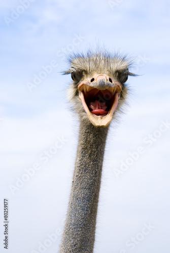Fotobehang Struisvogel funny ostrich