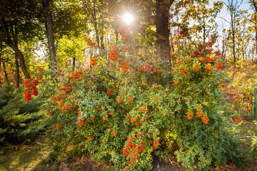 Rowan bush on a sunny sky