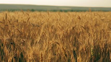 Yellow rye ears field pan