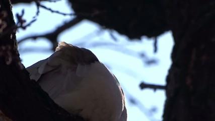 Culver on a tree